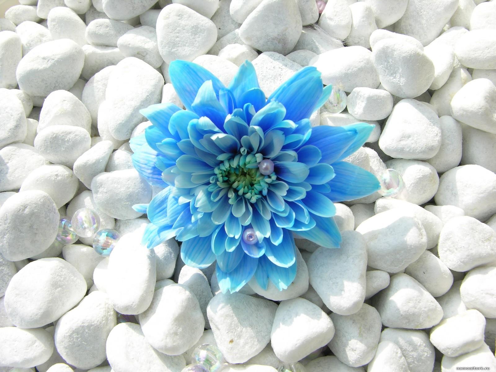 Бело голубые цветы фото