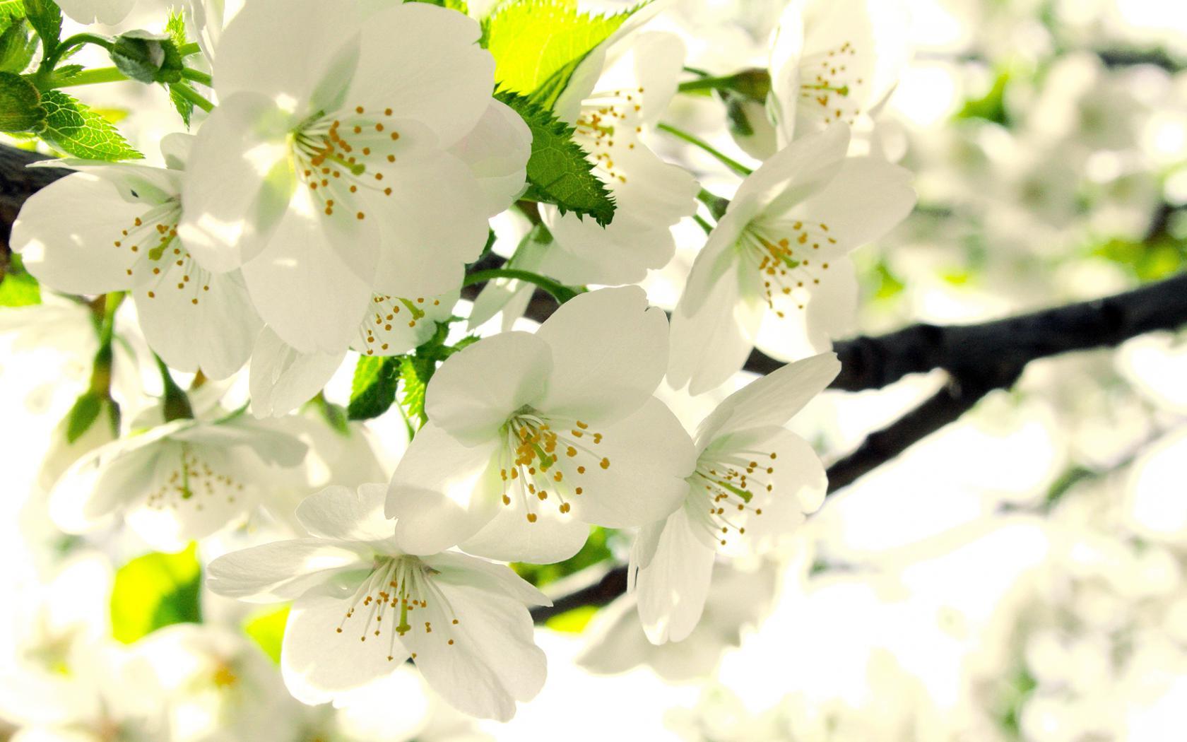 обои для рабочего стола цветущие яблони № 239674 загрузить