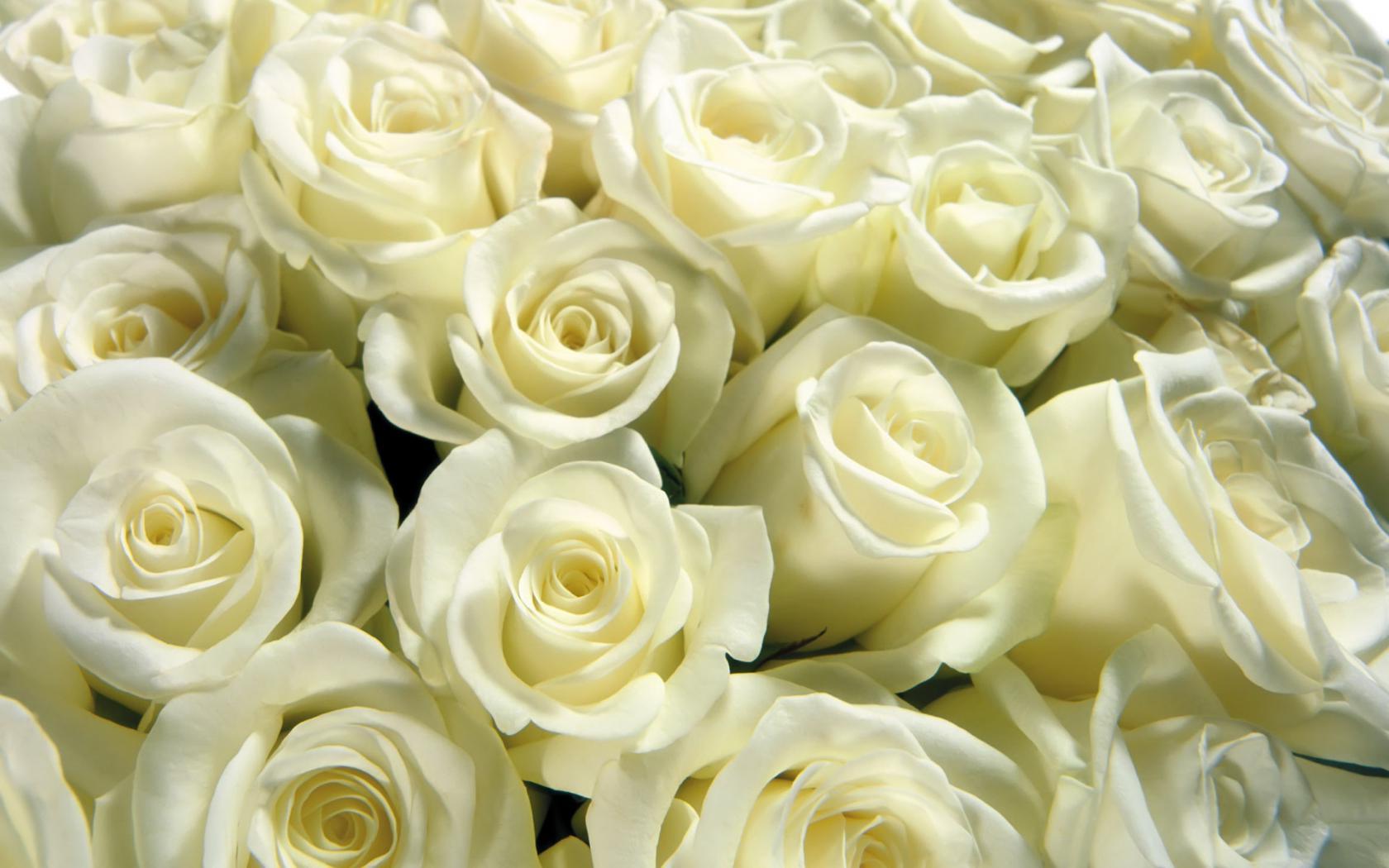 Цветы розы красивые белые