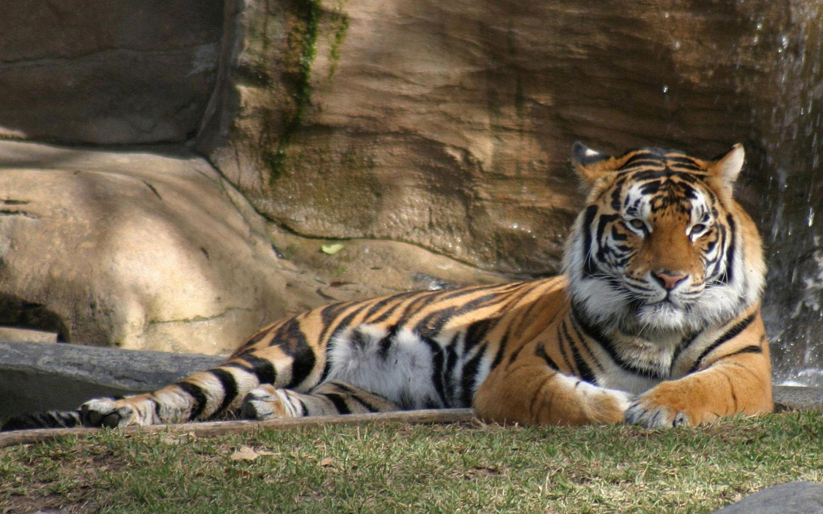 Блестящая картинка тигра 8