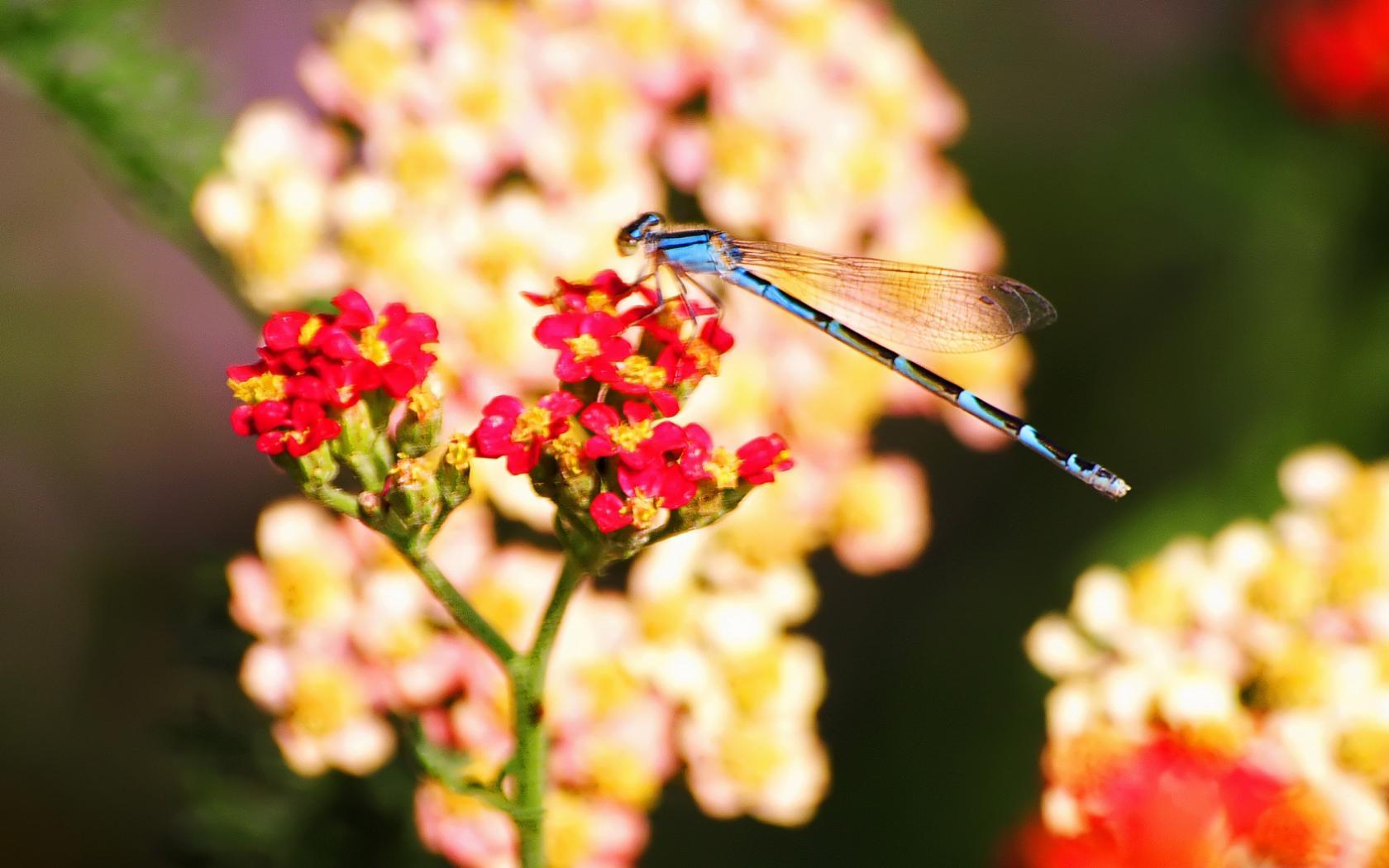 Красивые стрекозы на цветах фото