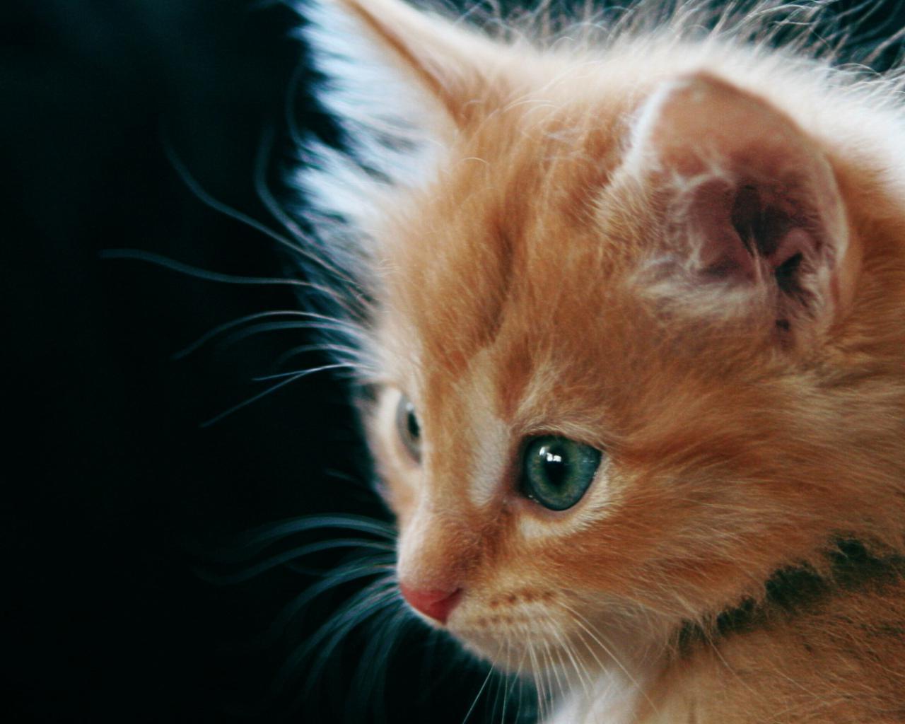 Картинки рыжих кошек с голубыми глазами, для днем