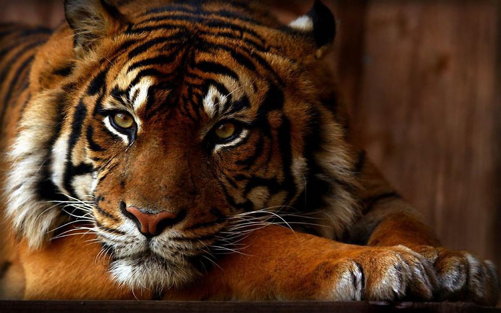 Фото на аву вк с тиграми