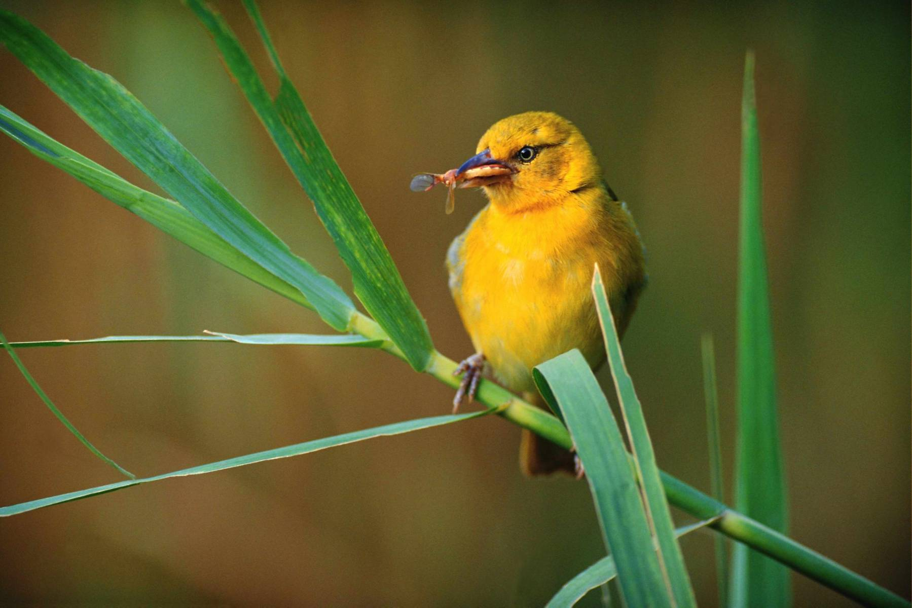 Картинка желтая птичка