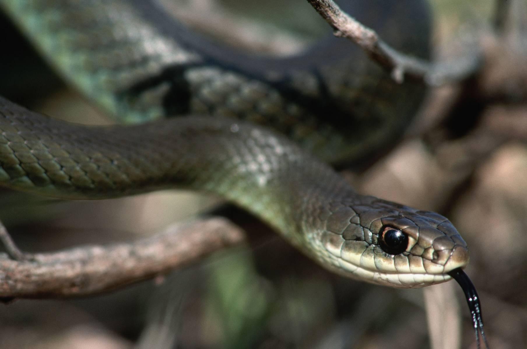 Язык как у змеи